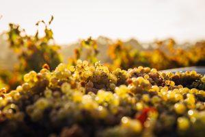 Vineyards Vine